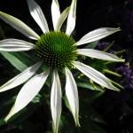 Purpursolhat - hvid
