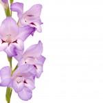 Beautiful Gladiolus on white background