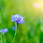 Wild blue cornflower on the green meadow