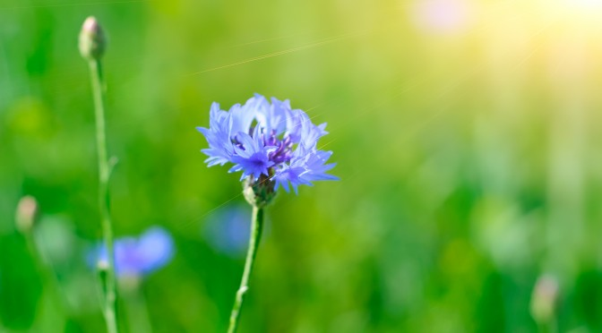 Wild blue cornflower on the green meadow