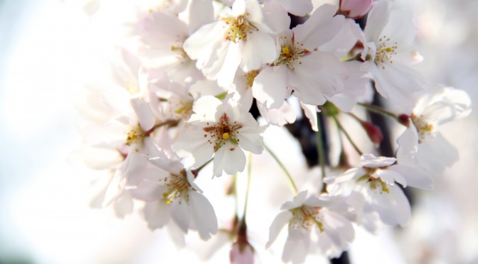 spring cherry white blossom, tree branch, macro view