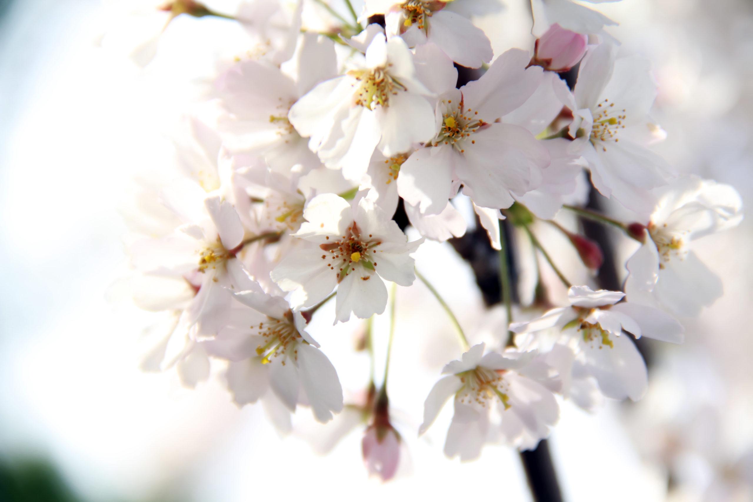 Sommerboom i falske jomfruhinder