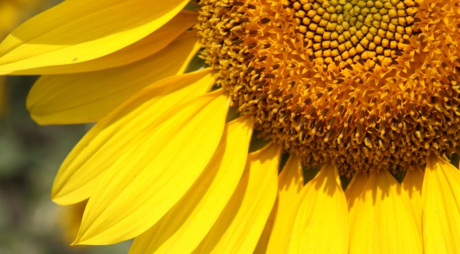 Ornamental sunflower