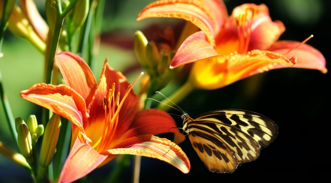 butterfly on a lily flower