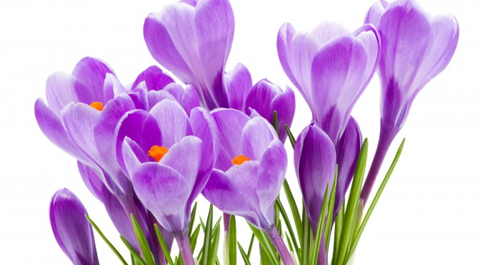 spring flowers, crocus, isolated on white