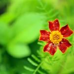 Marigold (Tagetes) Flower