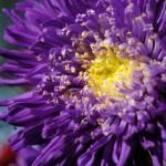 Closeup of Chrysanthemum flower