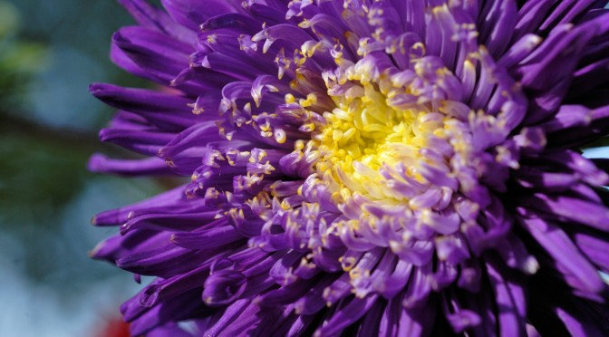 Closeup of Chrysanthemum flower