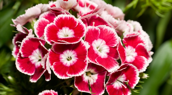Beautiful carnation or pink flowers