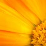 Floral background: Close-up shot of orange calendula flower