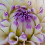 Dahlia macro