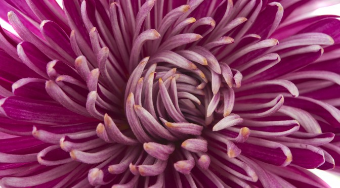 Pink chrysanthemum flower